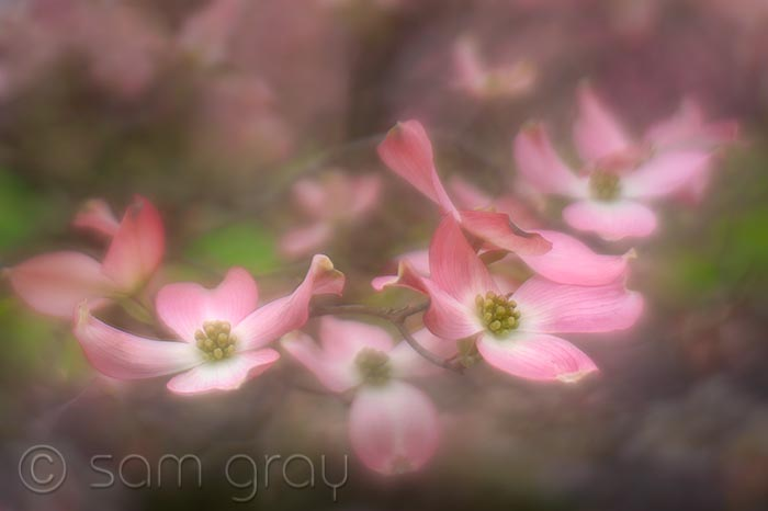 Soft Focus Dogwood